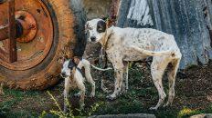 dogs of cuba