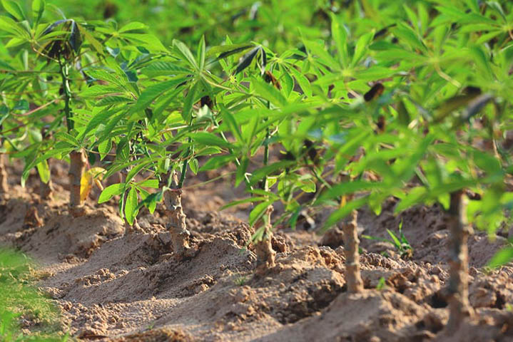 Cassava Plants