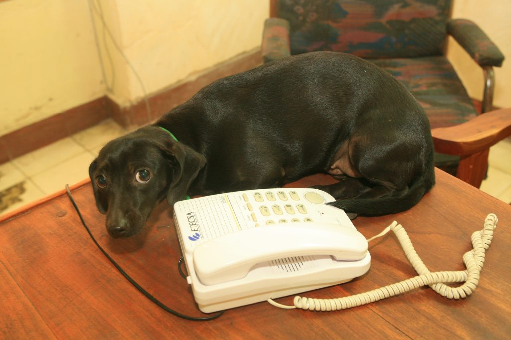 dogs in cuba relaxing by the phone