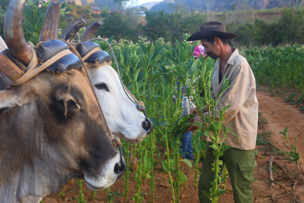 picking tobacco in vinales cuba