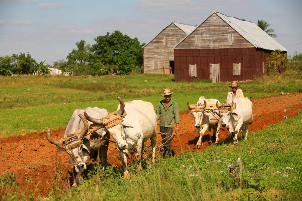 famers plow fields with ox in cuba