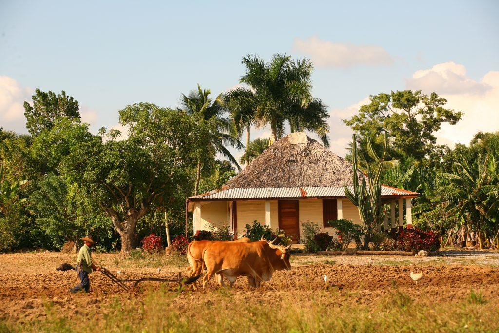 ox drawn plough and farmer in pinar del rio cuba