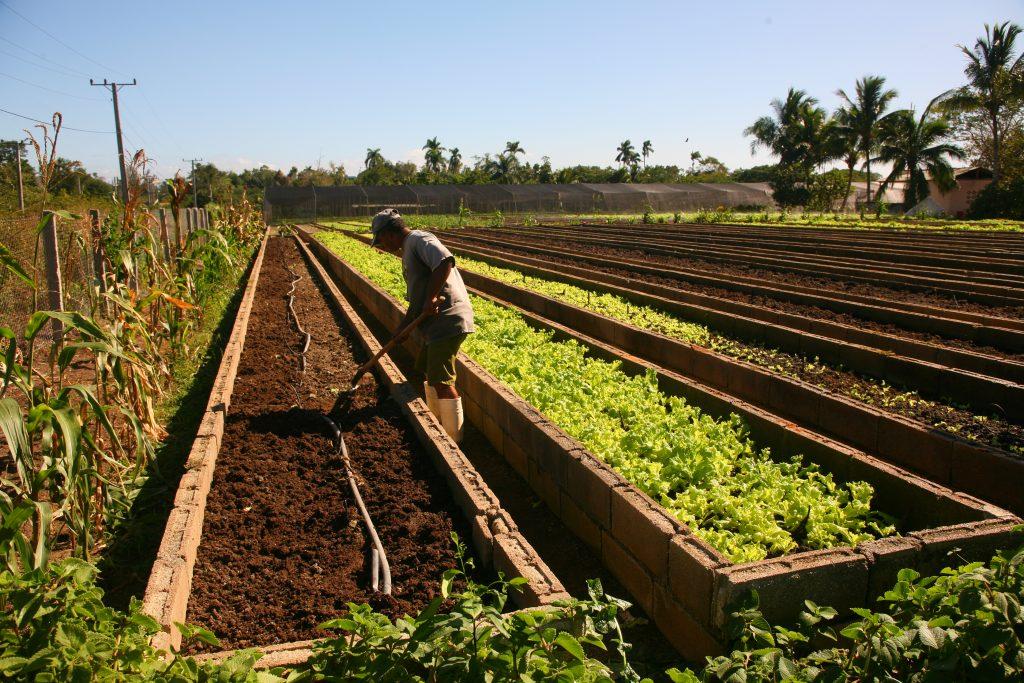 cuban farmer works at an agroponico, or urban farm allotment, in holguin, Cuba