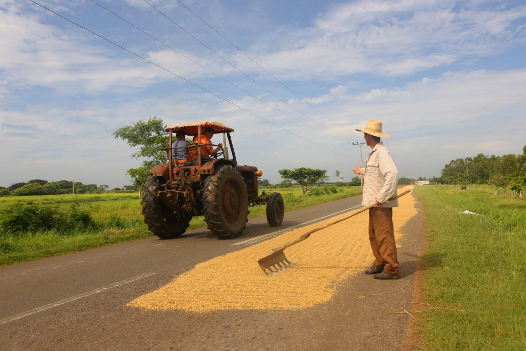 cuban farmer lays out rice to dry on the street near bay of pigs cuba